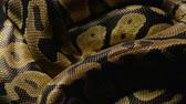 ロイヤル : Pattern of royal pythons snakeskin