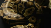 serpent : Texture of snakeskin in shadow