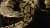 ロイヤル : Texture of royal pythons snakeskin in shadow 動画素材