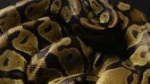 ロイヤル : Texture of ball pythons snakeskin