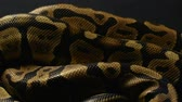 ロイヤル : Background of snakeskin