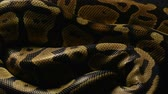 ロイヤル : Background of pythons snakeskin 動画素材