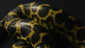 Crawling yellow pet anaconda