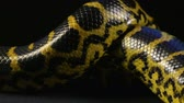 Crawling in knot yellow python Stock Footage