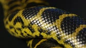 Close up shooting of yellow anaconda Stock Footage