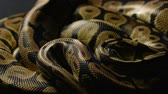 Snakeskin of royal python in shadow