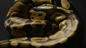 Texture of royal pythons snakeskin