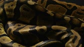 Background of royal pythons snakeskin Stock Footage