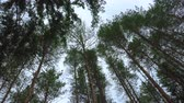 bottom view : Swaying in the wind pines tops
