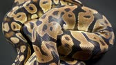 ロイヤル : Video of royal ball python on dark texture 動画素材