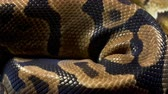 ロイヤル : Video of ball royal python on dark table
