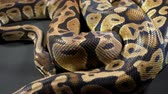 serpent : Footage of royal ball python on dark Stock Footage