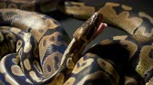 serpent : Video of yawning royal python