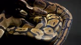 bolas : Footage of ball python on black background
