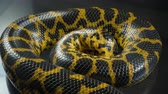 yılan : Video of crawling yellow boa anaconda