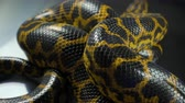 eunectes : Shooting of crawling yellow boa anaconda