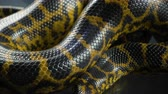 serpent : Video of breathing yellow anaconda, skin pattern