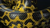 yılan : Closeup shooting of crawling yellow anaconda