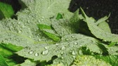 brokolice : Video of mint leaves with water drops Dostupné videozáznamy