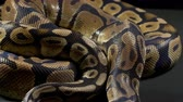 slangen : Video of ball royal python Stockvideo