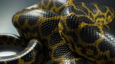 slangen : Closeup video of breathing yellow boa anaconda