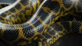 respiracion : Shooting of breathing yellow anaconda, skin pattern