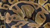 slangen : Video of ball royal python on black background Stockvideo