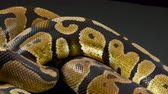slangen : Video of ball python in dark