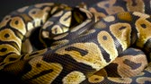slangen : Footage of ball python on dark background