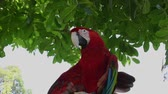 macaw parrot : Exotic bird: red scarlet macaw parrot hanging on twigs