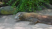 varanus : Portrait of Komodo dragon resting, It is the largest living species of lizard