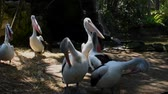 waterbird : Australian Pelican Adult Immature Flock Displaying in Australia
