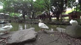patinho : Duck on rural farm. Countryside in Asia. Shooting with Action Camera and 3-Axis gimbal stabilizer.