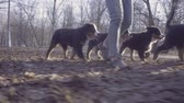 лохматый : Woman and bernese shepherd dog puppies in park