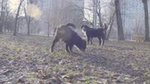 Bernese shepherd dog puppies playing with a stick Стоковые видеозаписи