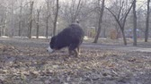 cabeludo : Bernese shepherd dog puppies playing with a stick Stock Footage