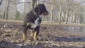 cachorrinho : Bernese shepherd dog puppies walking in the park