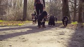 лохматый : Woman walking with bernese shepherd dog puppies