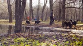 мама : Bernese shepherd dog puppies drinking from puddle