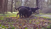 cabeludo : Bernese shepherd dog and her puppies in a park