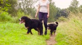 лохматый : Woman walking with bernese shepherd dogs Стоковые видеозаписи