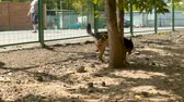 nazik : Disabled dog running near the fence