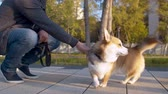engedelmes : The man and the corgi dog in the park Stock mozgókép