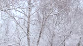 obalované : Snow falling at the birch trees. Trees under the snow, snowfall in the park. Winter background