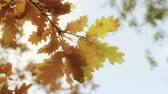 novembro : Close up autumn tree moving leaves background Stock Footage
