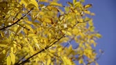 vibrante : Warm colors moving autumn leaves close up over bright blue sky. Full HD 1920x 1080 video.