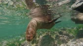 santuário : Underwater close up view of sea lions swimming in shallow ocean water reef, wildlife conservation scene. Slow motion, full hd footage.