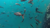 первый : Underwater sea life shot, creole fish school swimming on the coast of Galapagos islands. Full hd footage.