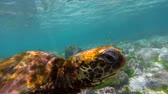 santuário : Colorful underwater close up shot of wild green sea turtle swimming in galapagos islands rock reef. Full hd footage in slow motion. Vídeos
