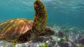 santuário : Colorful underwater shot of wild green sea turtle swimming in galapagos islands rock reef. Full hd footage in slow motion.